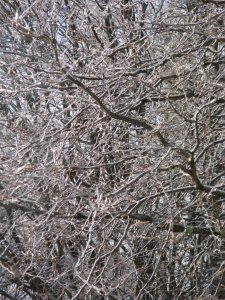 icetrees31