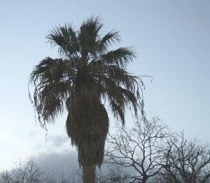 palmtree1crop